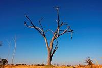 acacias Acacia spec., dead tree, Botswana, Okavango, Moremi Game Reserve