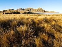 Tufts of Red Tussock Grass in Valley
