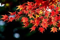 Plant, tree, maple tree leaf,