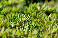 leaf of azalea