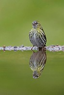 spruce siskin Carduelis spinus, female reflected in garden pool, United Kingdom, Scotland, Cairngorms National Park
