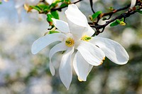 Close_up flower of Magnolia