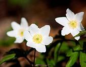 white flowers, spring