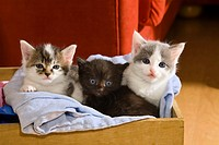 domestic cat, house cat Felis silvestris f. catus, young kittens sitting in a wooden box