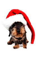 Wire_haired Dachshund, Wire_haired sausage dog, domestic dog Canis lupus f. familiaris, with red Santa hat