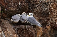 black_legged kittiwake Rissa tridactyla, Larus tridactyla, adult with two chicks on a nest at a birds rock
