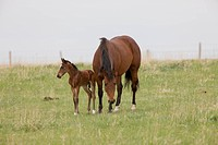 Horse and Colt in Pasture Saskatchewan Canada