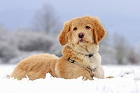 young Hovawart dog _ lying in snow