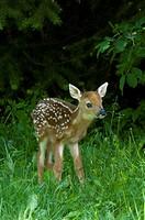 White_Tailed Deer Fawn Odocoileus virginianus