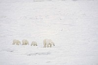 Mother Polar Bear Ursus maritimus with Cubs, Churchill, Manitoba