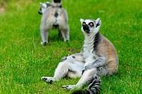ring_tailed lemur Lemur catta, sitting on lawn and let the sun shine on the belly