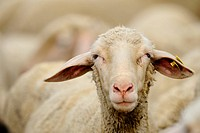 domestic sheep Ovis ammon f. aries, sheep in a flock, Germany, Bavaria