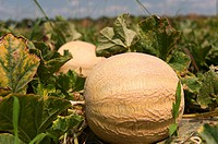 Cantaloupe on vine in the field of a produce grower