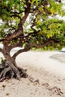 A tree on the beach near the Kona airport on the Big Island of Hawaii, USA