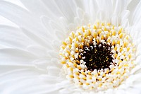 Close up of Gerbera flower head