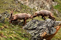 alpine ibex Capra ibex, two individuals fighting at slope, Switzerland, Engadine, Alp Languard