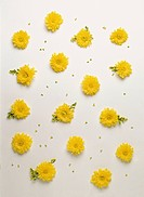 yellow chrysanthemums, petals and leaves in polka dot arrangement on white background