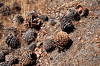 Bunch of pinecones