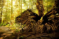 Roots of a tree in forest in Cathedral Grove Provincial Park, Port Alberni, Vancouver Island, BC