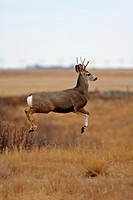 Mule Deer buck bounding over prairie