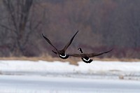 Pair of Canada geese taking off over a frozen wetland in spring. La Baie du Febvre. Province of Quebec. Canada.