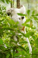 Silky Sifaka Propithecus diadema candidus with a baby in the rainforests of Marojejy National Park in northeast Madagascar.