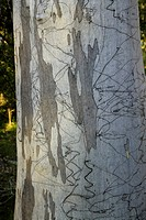 Scribbly gum eucalyptus tree with bark marked by moth, New South Wales, Australia