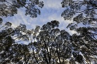 Eucalyptus trees against morning clouds in blue sky, fall, Western Australia, Australia