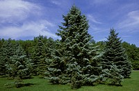 Colorado Fir Trees, Montreal Botanical Garden, Montreal, Quebec