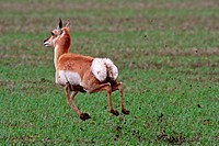 Pronghorned Antelope running through field