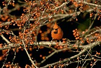 Red male cardinal, Cardinal cardinalis, perches on branch of Zumi crab apple tree in fall berries, Missouri USA