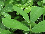 Water drops on leaves of Senna obtusifolia, Sinhangad, Pune, Maharashtra, India