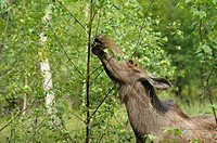 Moose Cow, Alces alces, Summer, Europe