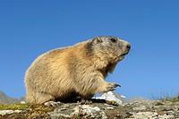 Alpine marmot, Marmota marmota, Hohe Tauern National Park, Austria, Europe
