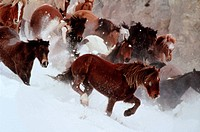 Wild Horses Running through Snow