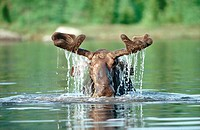 Moose Emerging from Pond