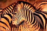 Burchell´s Zebras Grazing