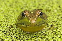 Green Frog (Rana clamitans) in duckweed, New York, USA