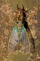 Emerald Cicada (Zammara smaragdina) - Costa Rica - tropical dry forest - recently emerged adult - showing exoskeleton