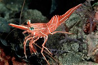 Prawn Crawling Over Rocks