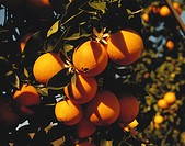 Bunch of oranges on tree, close_up