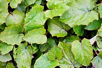Coltsfoot texture