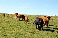 Limousin Cattle