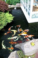 Garden Pond with Kois / Cyprinus carpio