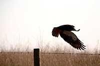 Bird of prey takes flight from fence post in Saskatchewan