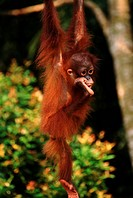 Orangutan hanging from branch _ Borneo