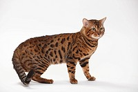 Bengal Cat, tomcat / side