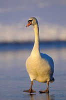 Mute Swan, male, Lower Rhine, North Rhine_Westphalia, Germany / Cygnus olor