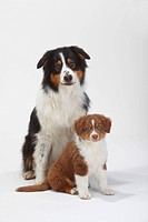 Australian Shepherd, black_tri, with puppy, red_tri, 9 weeks