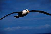 Black_Browed Albatross in Flight